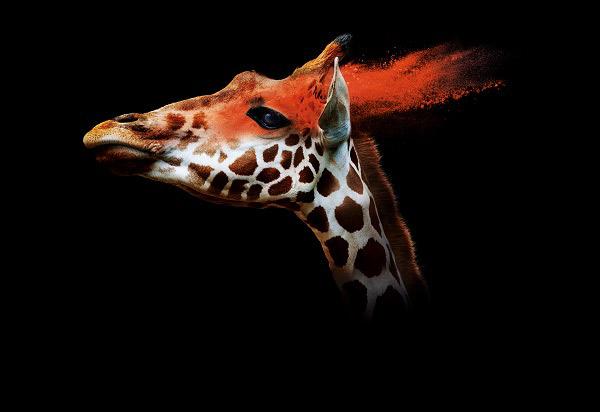 ZOOM-Giraffa
